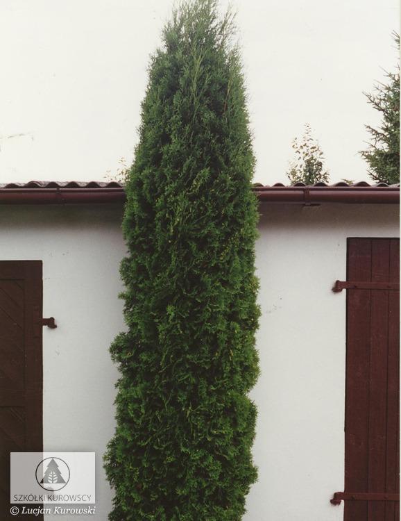 thuja occidentalis 39 fastigiata 39 lebensbaum. Black Bedroom Furniture Sets. Home Design Ideas