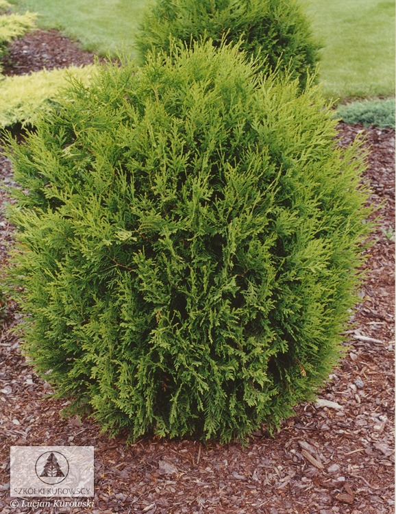 Thuja occ - Thuja smaragd growth rate ...