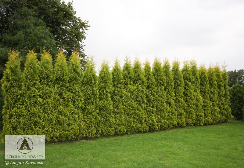 thuja occidentalis 39 yellow ribbon 39 lebensbaum. Black Bedroom Furniture Sets. Home Design Ideas
