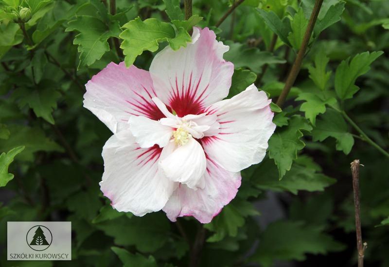 hibiscus syriacus 39 pinky spot 39 pbr szk ki kurowscy. Black Bedroom Furniture Sets. Home Design Ideas