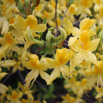 Rhododendron  luteum 6
