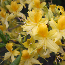 Rhododendron  luteum 7