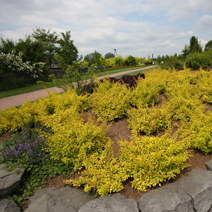 Berberis thunbergii 'Golden Carpet' 4