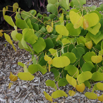 Cercis canadensis 'Hearts of Gold'
