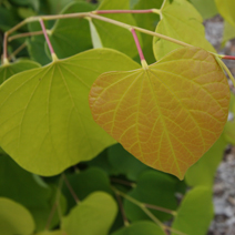 Cercis canadensis 'Hearts of Gold' 2