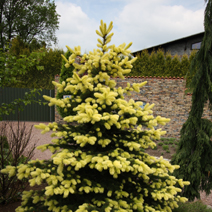 Picea pungens 'Maigold' 3
