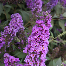 Buddleja 'Blue Chip' 'LO and BEHOLD' PBR 2