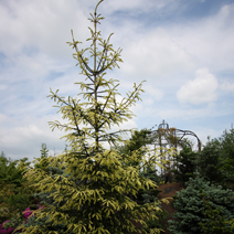 Picea abies 'Finedonensis' 1
