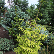 Picea orientalis 'Golden Start' (P. or. 'Wittboldt') 3