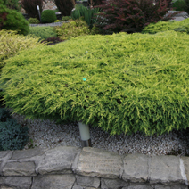 Juniperus x pfitzeriana 'Gold Star' (J. media 'Gold Star') 3