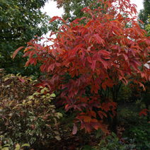 Aesculus x neglecta 'Autumn Fire'  1
