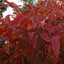 Aesculus x neglecta 'Autumn Fire'  2