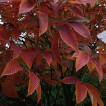 Aesculus x neglecta 'Autumn Fire'  3