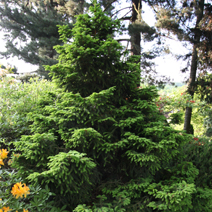 Picea abies 'Barryi' 2