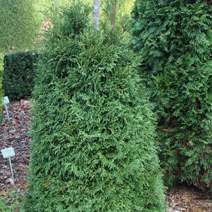 Thuja occidentalis 'Strasko W.B.' 2