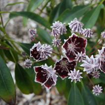 Kalmia latifolia 'Midnight'