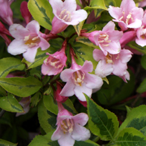 Weigela florida 'Magical Rainbow' (W. fl. 'Kolmagira') 3