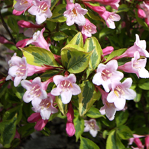 Weigela florida 'Magical Rainbow' (W. fl. 'Kolmagira') 4