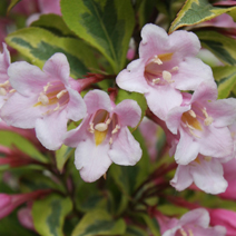 Weigela florida 'Magical Rainbow' (W. fl. 'Kolmagira') 2