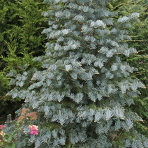 Abies concolor 'Hexe'