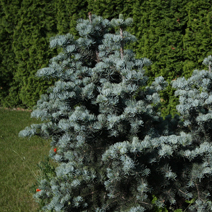 Abies concolor 'Compacta' 2