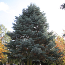 Abies concolor 'Glauca' 2