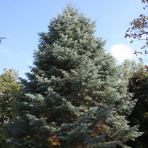 Abies concolor 'Glauca' 1