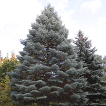 Abies concolor 'Violacea' 3