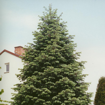 Abies concolor 1