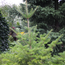 Abies nephrolepis 1