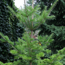 Abies nephrolepis 2