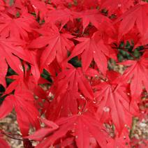 Acer palmatum atropurpureum 4