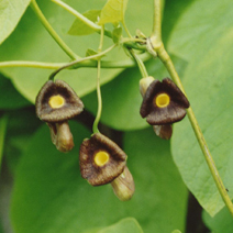 Aristolochia durior 2