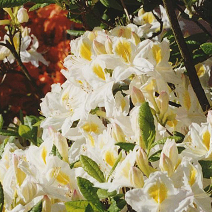 Rhododendron  (Knaphill-Exbury) 'Persil' 2