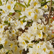 Rhododendron  (Knaphill-Exbury) 'Persil'