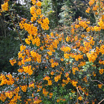 Berberis 'Goldilocks' 5
