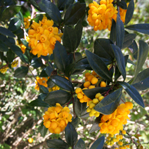 Berberis 'Goldilocks' 6