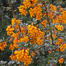 Berberis 'Goldilocks' 4