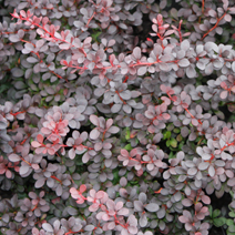 Berberis thunbergii 'Dart's Red Lady' 2