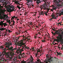 Berberis thunbergii 'Pink Queen'