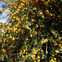 Berberis 'Goldilocks' 3