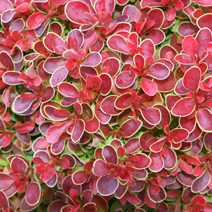 Berberis thunbergii 'Admiration' ® 4