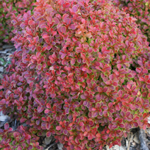 Berberis thunbergii 'Admiration' ® 2