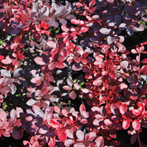 Berberis thunbergii 'Dart's Red Lady' 7