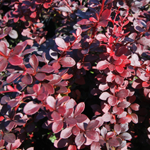 Berberis thunbergii 'Dart's Red Lady' 6
