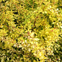Berberis thunbergii 'Golden Dream' 2