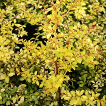 Berberis thunbergii 'Golden Dream' 1
