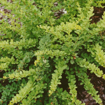 Berberis thunbergii 'Green Carpet' 6