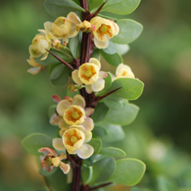 Berberis thunbergii 'Green Carpet' 8