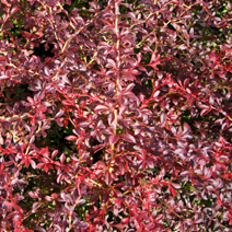 Berberis thunbergii 'Orange Dream' PBR 3